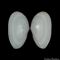Tellinidae - Peronaea strigosa (Gmelin, ...