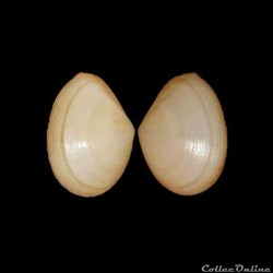 Tellinidae - Laciolina laevigata (Linné, 1758)