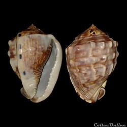 Cassidae - Cassis flammea (Linné, 1758)