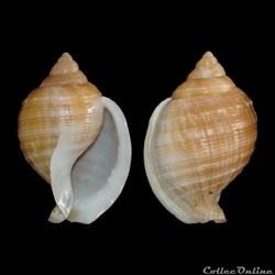 Cassidae - Galeodea echinophora (Linné, ...