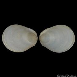 Limidae - Ctenoides mitis (Lamarck, 1807...