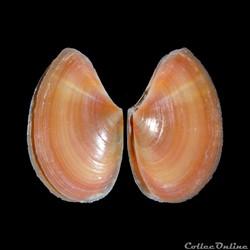 Tellinidae - Bosemprella incarnata (Linn...