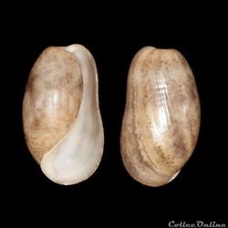 Bullidae - Bulla striata (Bruguière, 179...