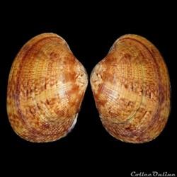 Veneridae - Polititapes aureus (Gmelin, 1791)
