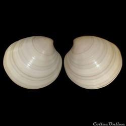 Veneridae - Pitar rudis (Poli, 1795)