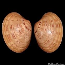Veneridae - Callista chione (Linné, 1758)