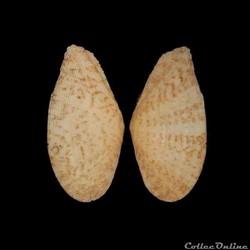 Tellinidae - Tellinella listeri (Röding, 1798)