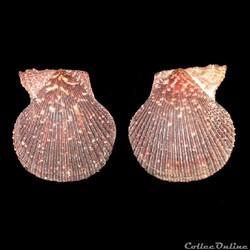 Pectinidae - Mimachlamys varia, Linné, 1758