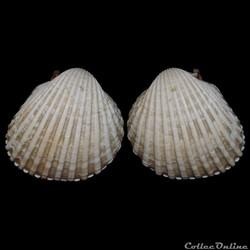 Cardiidae - Acanthocardia tuberculata (L...