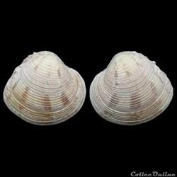 Veneridae - Venus crebrisulca (Lamarck, ...