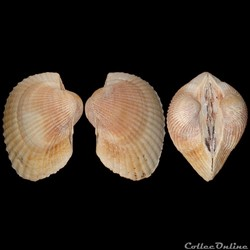 Arcidae - Lunarca ovalis (Bruguière, 1789)