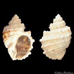 Cancellariidae - Solatia piscatoria (Gme...