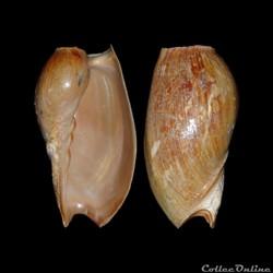 Volutidae - Cymbium pachyus (Pallary, 19...