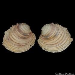Veneridae - Circomphalus foliaceolamellosus (Dilwyn, 1807)