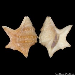 Aporrhaidae - Aporrhais senegalensis (Gr...