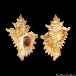 Muricidae - Ocenebra erinacea hanleyi (var.), Dautzenberg, 1887