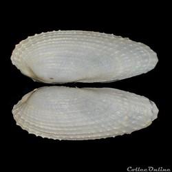 Pholadidae - Barnea candida, Linné, 1758