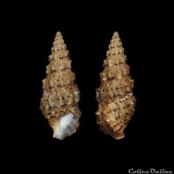 Cerithiidae - Cerithium scabridum (Phili...