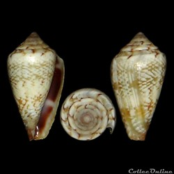 Conidae - Lautoconus (Africonus) serranegrae (Rolán, 1990)