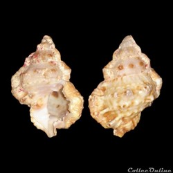 Bursidae - Bursa rhodostoma thomae (d'Orbigny, 1847)