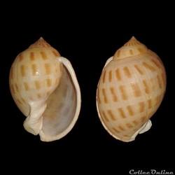 Cassidae - Semicassis bisulcata (Schuber...