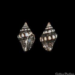 Buccinidae - Engina turbinella (Kienner,...