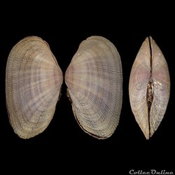 Psammobiidae - Asaphis deflorata (Linné, 1758)