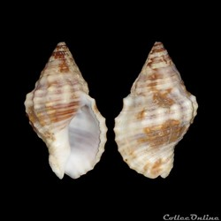 Buccinidae - Gemophos auritulus (Link, 1...