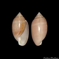 Actenoidae - Acteon tornatilis (Linné, 1...