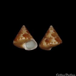 Calliostomatidae - Calliostoma laugieri ...