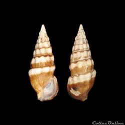 Cerithiidae - Cerithium guinaicum (Phili...