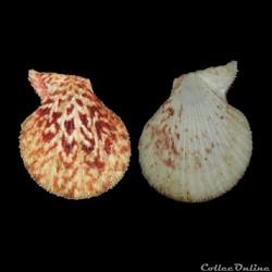Pectinidae - Caribachlamys ornata (Lamar...