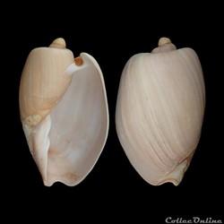 Volutidae - Cymbium olla, Linné, 1758
