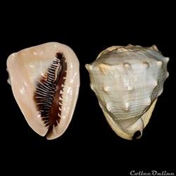 Cassidae - Cassis madagascariensis (Lama...