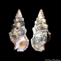 Cerithiidae - Cerithium atratum (Born, 1...