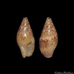 Columbellidae - Mitrella ocellata (Gmeli...