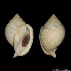 Cassidae - Galeodea rugosa (Linné, 1771)