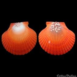 Pectinidae - Aequipecten flabellum (Gmel...