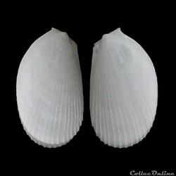 Limidae - Limaria hians, Gmelin, 1791