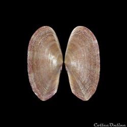 Psammobiidae - Gari fervensis, Gmelin, 1791