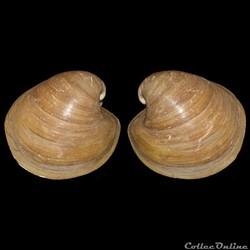 Glossidae - Glossus humanus, Linné, 1758