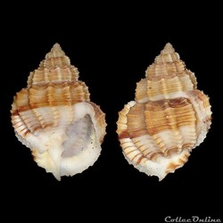Cancellariidae - Bivetiella cancellata (...