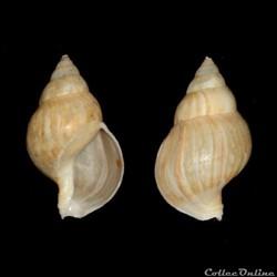 Buccinidae - Buccinum humphreysianum (Be...