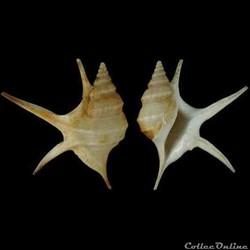 Aporrhaidae - Aporrhais pesgallinae (Bar...