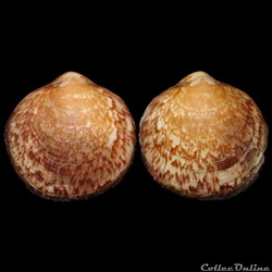 Glycymerididae - Glycymeris glycymeris, Linné, 1758