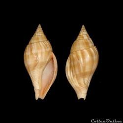 Colubrariidae - Metula cumingi (Adams, 1...