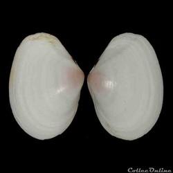 Tellinidae - Macomangulus tenuis (da Cos...