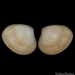 Veneridae - Pitar tumens (Gmelin, 1791)