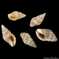 Buccinidae - Aplus assimilis (Reeve, 184...