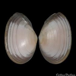 Tellinidae - Peronaea planata (Linné, 17...